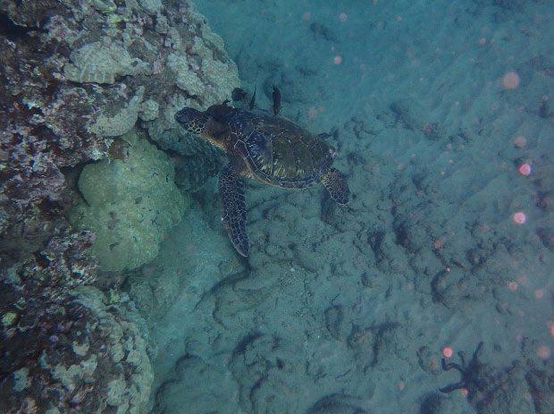 Maui turtle seen while snorkeling aboard Calypso Maui