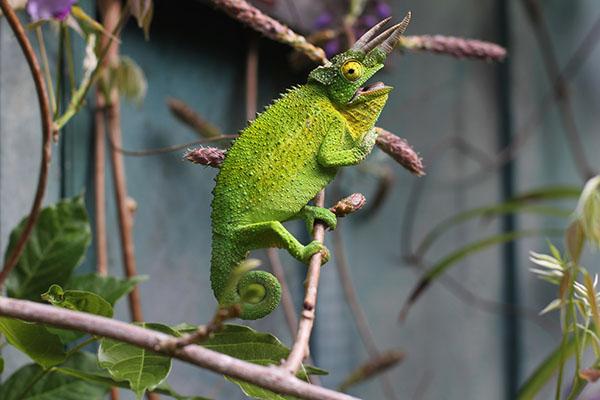 Hiking_On_Maui_Chameleon